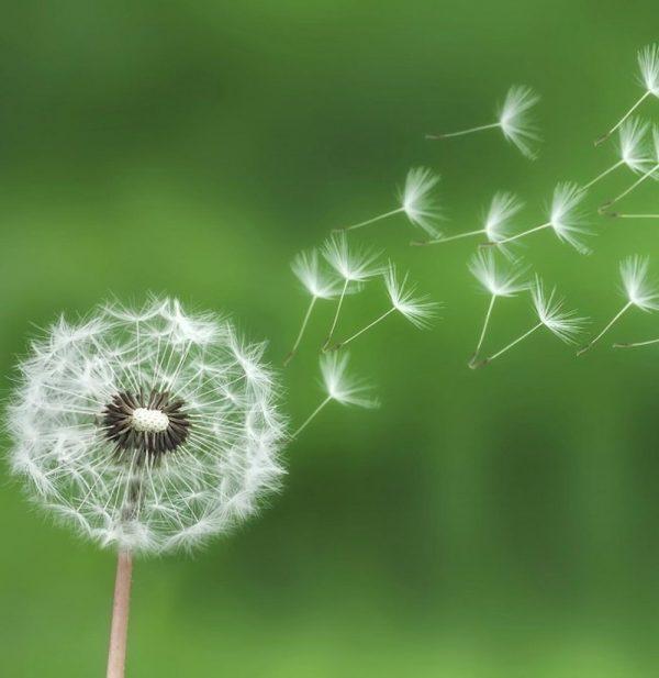 Ý nghĩa của hoa bồ công anh – tình yêu thuần khiết