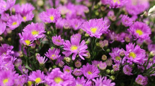 Ý nghĩa của hoa thạch thảo – loài hoa mạnh mẽ