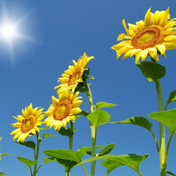 Các loại hoa hướng dương lớn nhất hiện nay