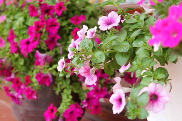 Cách chăm sóc hoa dạ yến thảo cho ra hoa đẹp nhất