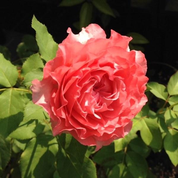 """Điểm danh các loại hoa hồng Nhật Bản """"đẹp không tì vết"""""""