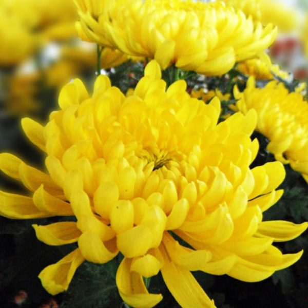 Điểm danh các loài hoa mang lại may mắn nhất cho gia chủ