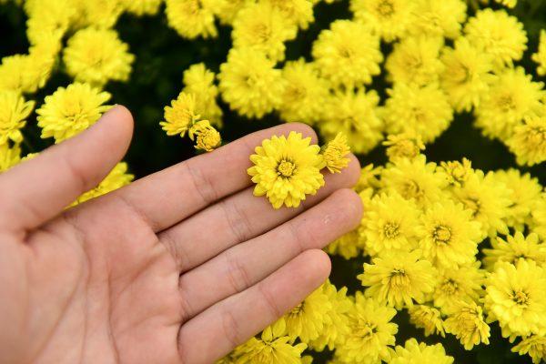 Ý nghĩa của hoa cúc mâm xôi – niềm vui và phúc lộc
