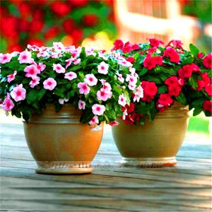 Ý nghĩa của hoa dừa cạn – loài hoa dân dã