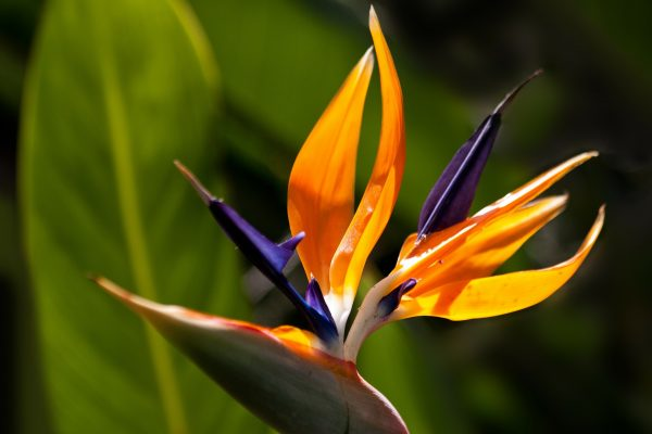 Ý nghĩa của hoa thiên điểu – loài hoa đến từ thiên đường