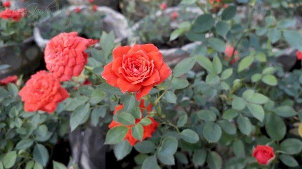 Cách chăm sóc hoa hồng tỉ muội ra hoa quanh năm dành cho người mới