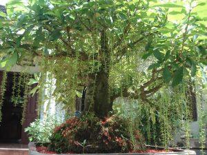 Có nên trồng cây lộc vừng trước nhà để hút tài lộc?