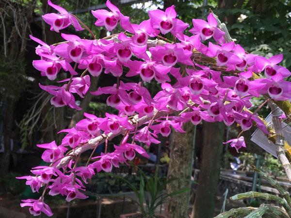 Những loài hoa lan đẹp nhất Việt Nam