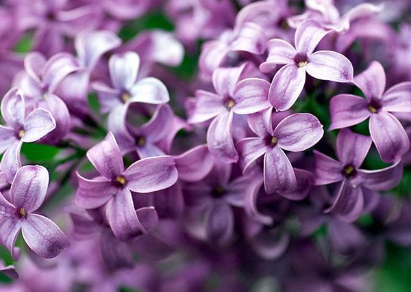 Ý nghĩa của hoa đinh tử mang vẻ đẹp dịu dàng