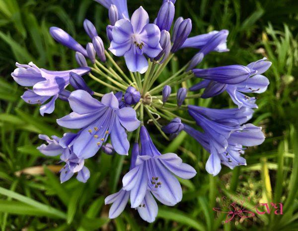 Các loại hoa chịu hạn tốt thích hợp trồng mùa hè