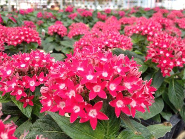 Ý nghĩa của hoa diễm châu – loài hoa nhỏ xinh đầy sắc màu