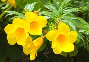 Ý nghĩa của hoa huỳnh đệ trong cuộc sống