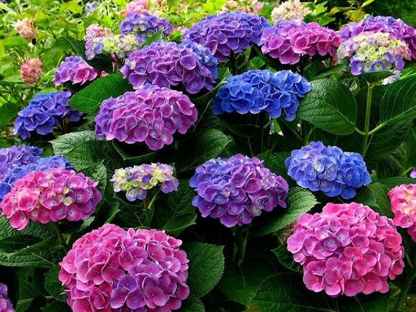 Đặc điểm và cách chăm sóc hoa cẩm tú cầu