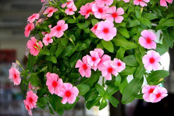 Đặc điểm và cách chăm sóc hoa dừa cạn