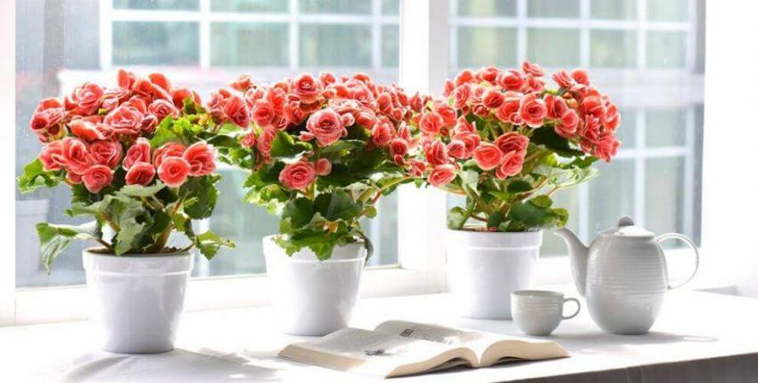 Đặc điểm và cách chăm sóc hoa hải đường