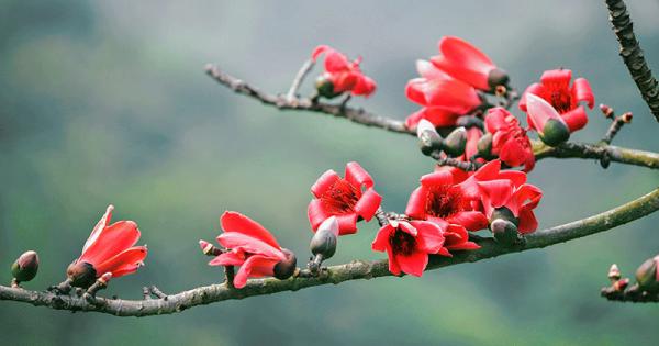 Ý nghĩa của hoa gạo – loài hoa nơi đồng quê