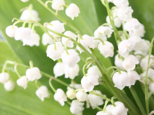 Ý nghĩa của hoa lan chuông – loài hoa tinh khôi