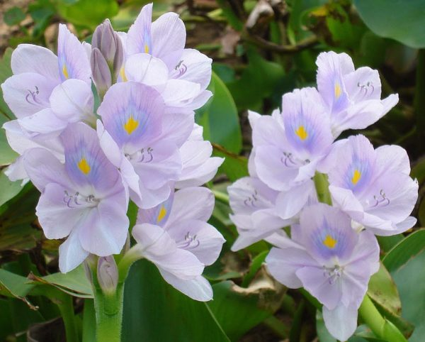 Ý nghĩa của hoa lục bình – bèo dạt mây trôi