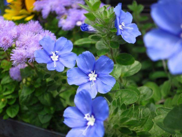 Điểm danh những loại hoa màu xanh nước biển đẹp nhất