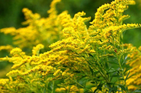 Ý nghĩa của hoa cúc hoàng anh – loài hoa nhỏ xinh