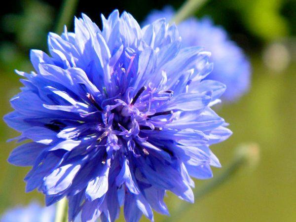 Ý nghĩa của hoa thanh cúc