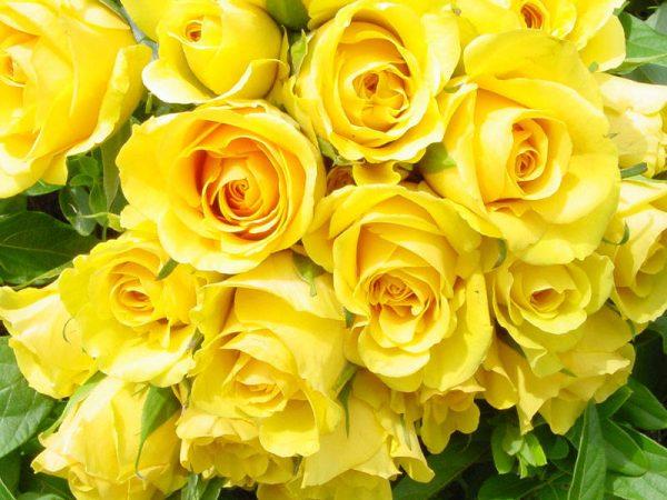 Ý nghĩa hoa hồng vàng trong tình yêu và cuộc sống