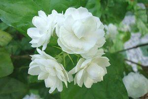 Cách trồng và chăm sóc hoa nhài