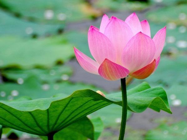 Hoa sen là quốc hoa của nước nào?