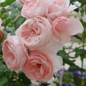 Hồng leo trồng bao lâu thì ra hoa?