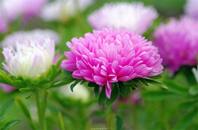các loại hoa cắm lâu tàn nhất - hoa cúc đại đóa